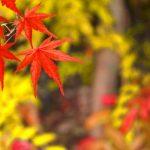 【紅葉ドライブ】奥多摩の紅葉は11月上旬~下旬が見頃!<青梅~奥多摩湖編>